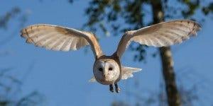 owl flying through air