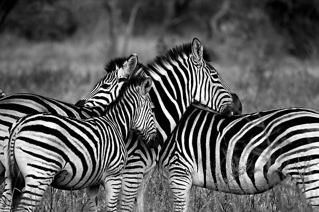 zebra in herd