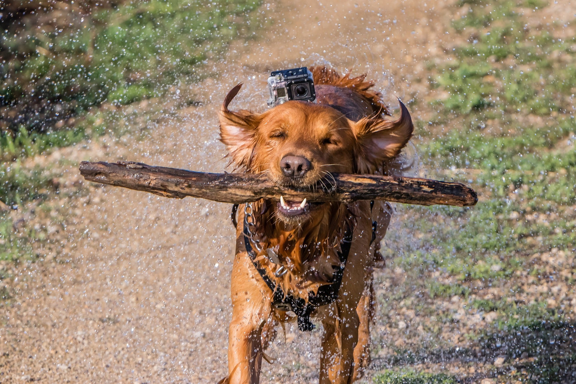 dog-has-fun-outdoors-with-action-camera-attached